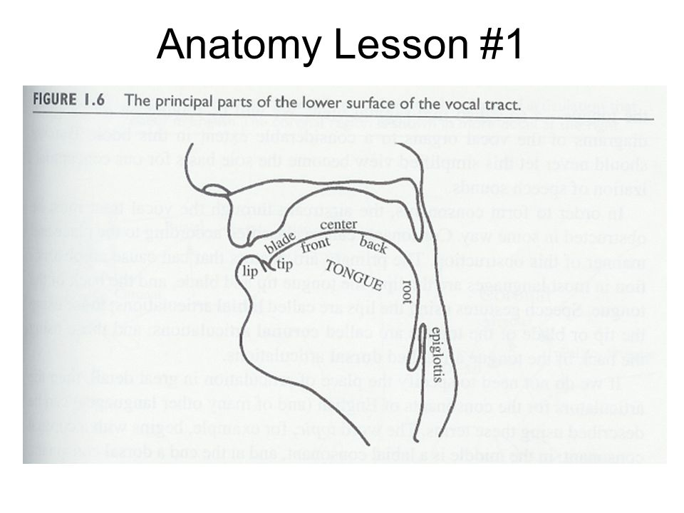 Dimension 3: Place of Articulation After the stream of air passes through the larynx… speech sounds may be made by constricting the flow of air through the vocal tract.