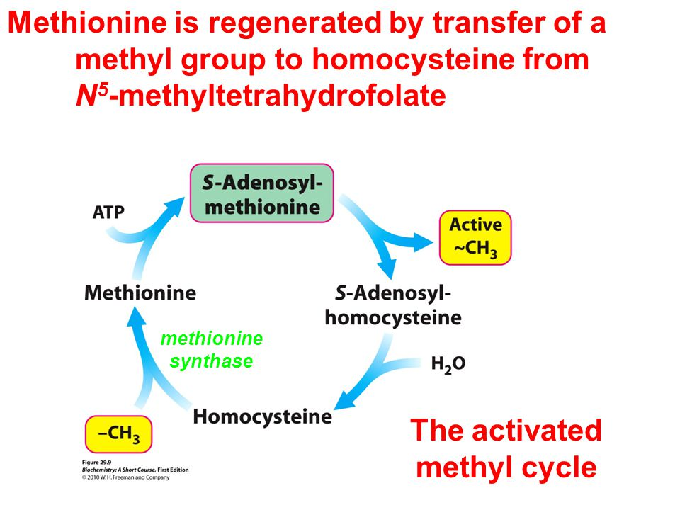 Methionine is regenerated by transfer of a methyl group to homocysteine from N 5 -methyltetrahydrofolate methionine synthase The activated methyl cycle