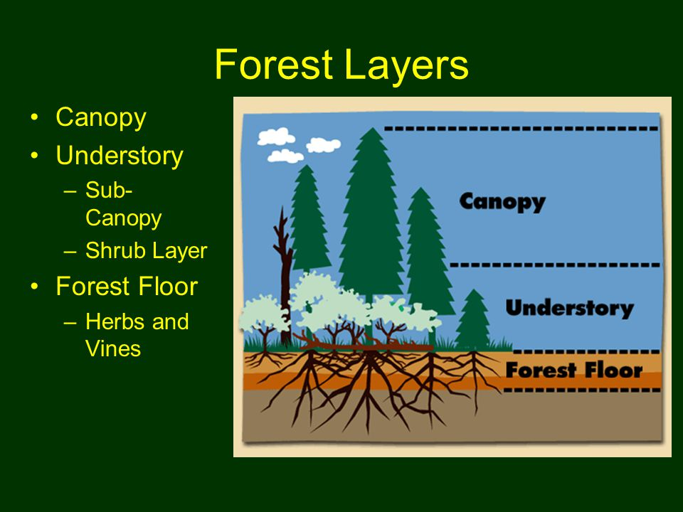 18 Forest Layers Canopy Understory u2013Sub- Canopy u2013Shrub Layer Forest Floor u2013Herbs and Vines  sc 1 st  SlidePlayer & Intro to Trees: SW Ohiou0027s Old Growth Forests. Outline Our Geologic ...