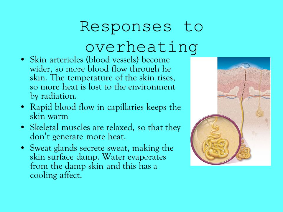 Responses to overheating Skin arterioles (blood vessels) become wider, so more blood flow through he skin.