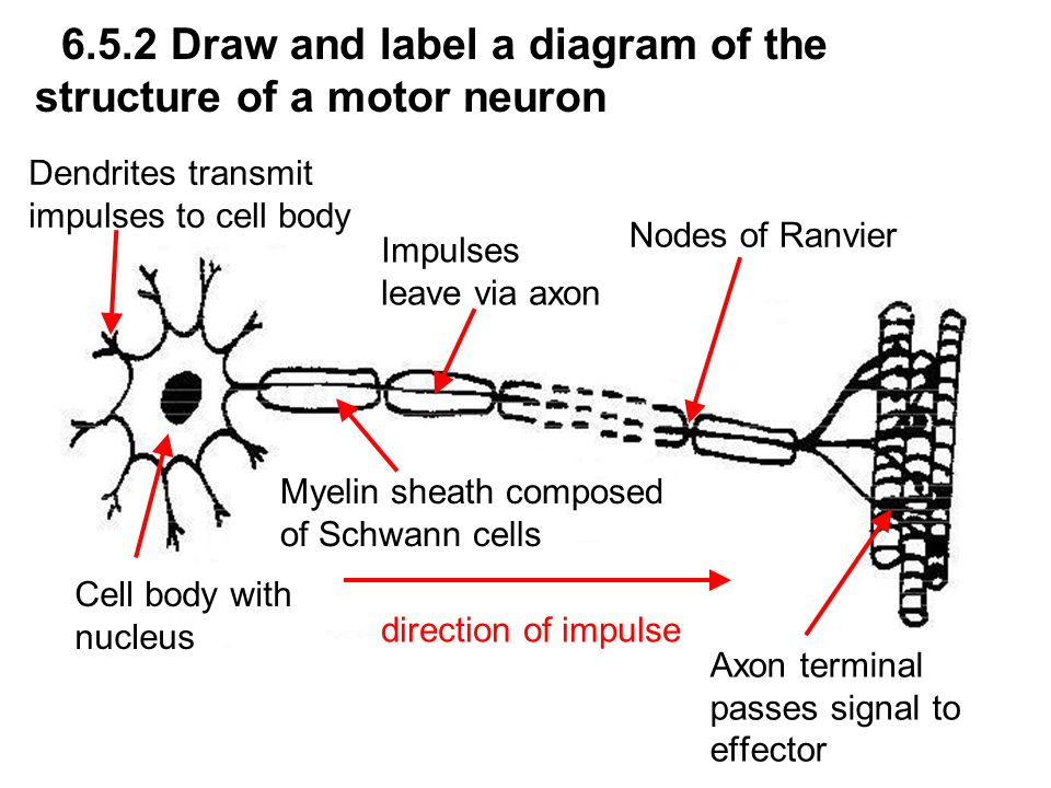 65 nerves hormones and homeostasis assessment statements state 9 652 draw and label a diagram of the structure of a motor neuron ccuart Images