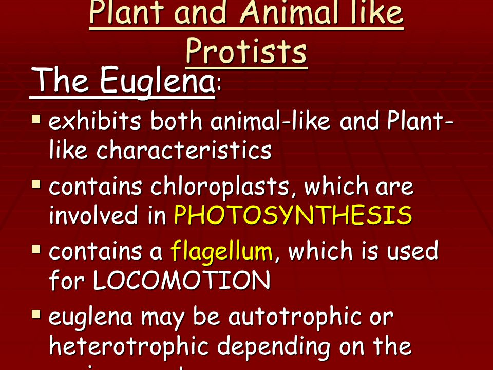 Plant and Animal like Protists The Euglena :  exhibits both animal-like and Plant- like characteristics  contains chloroplasts, which are involved in PHOTOSYNTHESIS  contains a flagellum, which is used for LOCOMOTION  euglena may be autotrophic or heterotrophic depending on the environment  In a light environment euglena would be AUTOTROPHIC  In a dark environment the euglena would be HETEROTROPHIC