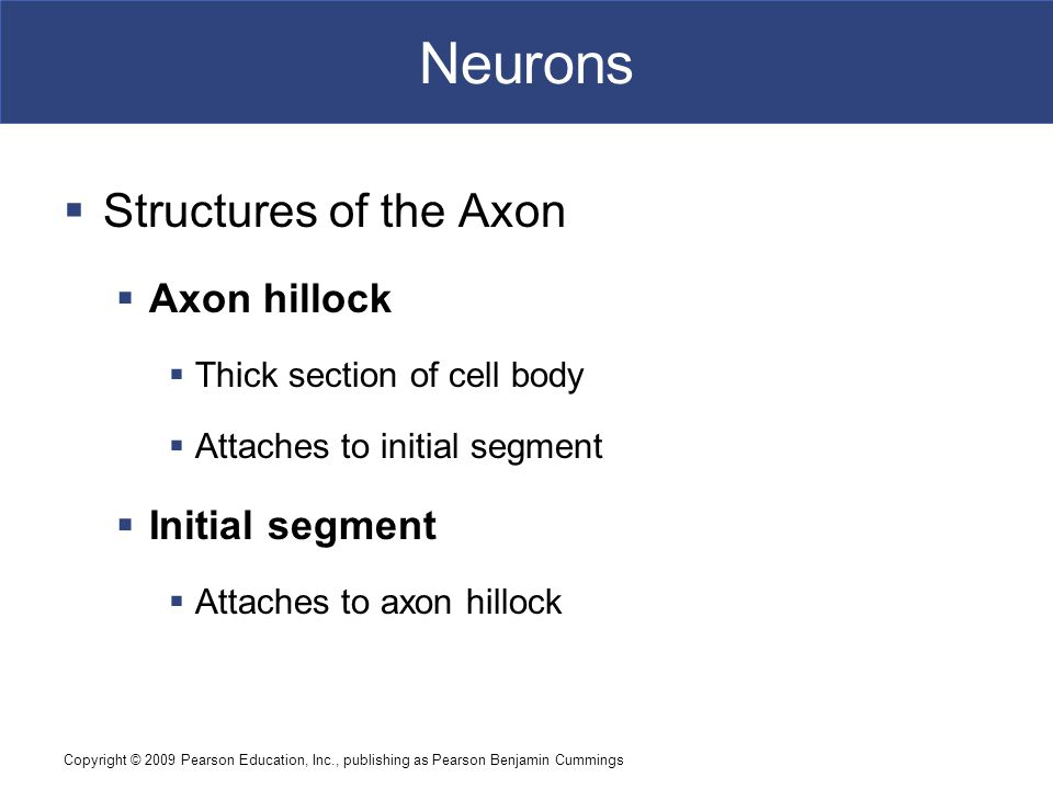 Copyright © 2009 Pearson Education, Inc., publishing as Pearson Benjamin Cummings Neurons  Structures of the Axon  Axon hillock  Thick section of cell body  Attaches to initial segment  Initial segment  Attaches to axon hillock