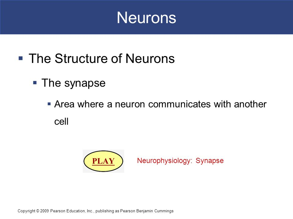 Copyright © 2009 Pearson Education, Inc., publishing as Pearson Benjamin Cummings Neurons  The Structure of Neurons  The synapse  Area where a neuron communicates with another cell Neurophysiology: Synapse