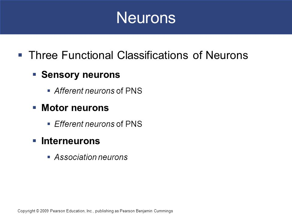 Copyright © 2009 Pearson Education, Inc., publishing as Pearson Benjamin Cummings Neurons  Three Functional Classifications of Neurons  Sensory neurons  Afferent neurons of PNS  Motor neurons  Efferent neurons of PNS  Interneurons  Association neurons