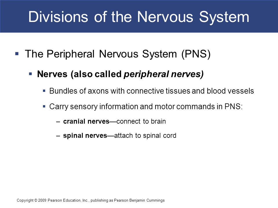 Copyright © 2009 Pearson Education, Inc., publishing as Pearson Benjamin Cummings Divisions of the Nervous System  The Peripheral Nervous System (PNS)  Nerves (also called peripheral nerves)  Bundles of axons with connective tissues and blood vessels  Carry sensory information and motor commands in PNS: –cranial nerves—connect to brain –spinal nerves—attach to spinal cord