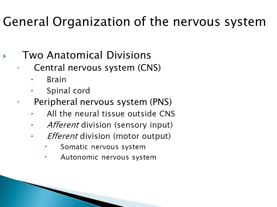  Two Anatomical Divisions ◦ Central nervous system (CNS)  Brain  Spinal cord ◦ Peripheral nervous system (PNS)  All the neural tissue outside CNS  Afferent division (sensory input)  Efferent division (motor output)  Somatic nervous system  Autonomic nervous system General Organization of the nervous system