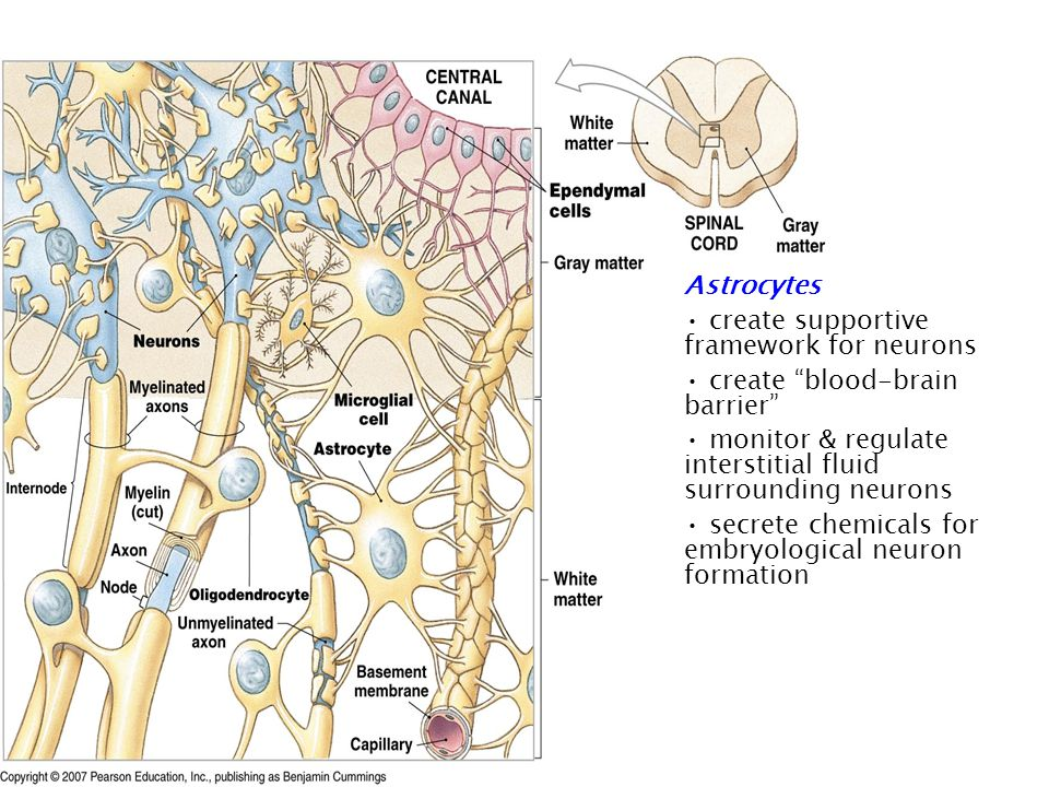 Astrocytes create supportive framework for neurons create blood-brain barrier monitor & regulate interstitial fluid surrounding neurons secrete chemicals for embryological neuron formation