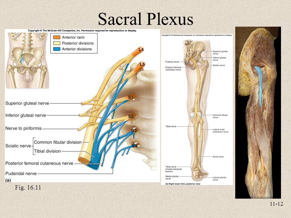 11-12 Sacral Plexus Fig