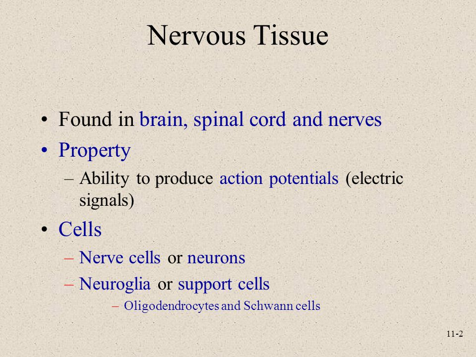 11-2 Nervous Tissue Found in brain, spinal cord and nerves Property –Ability to produce action potentials (electric signals) Cells –Nerve cells or neurons –Neuroglia or support cells –Oligodendrocytes and Schwann cells