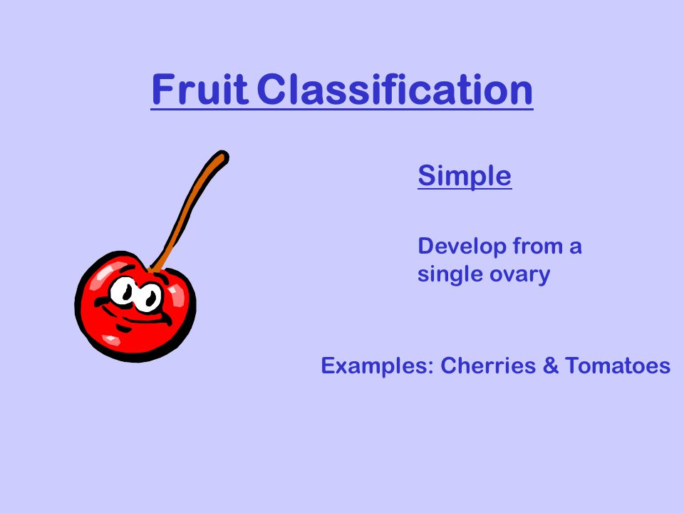 Fruit Classification Simple Develop from a single ovary Examples: Cherries & Tomatoes