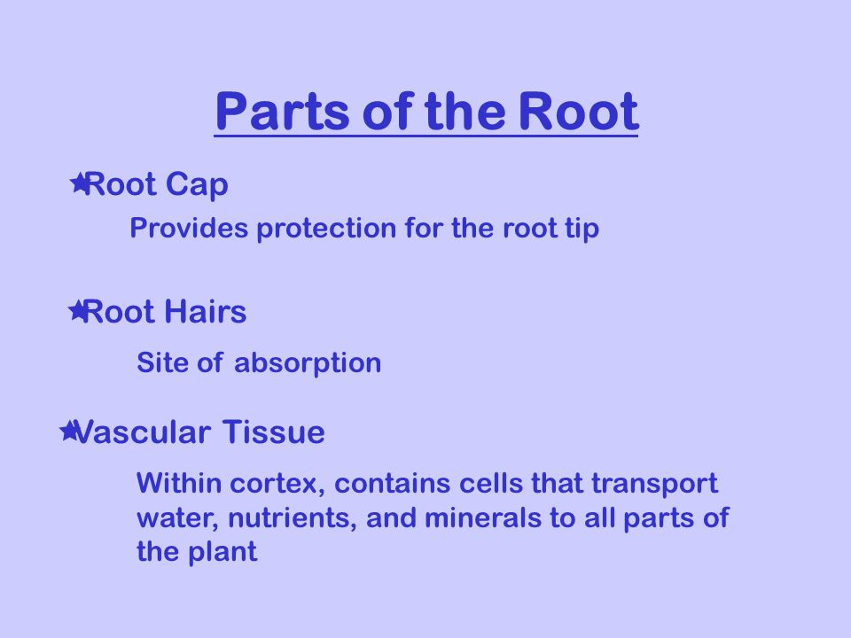 Parts of the Root  Root Cap  Root Hairs  Vascular Tissue Provides protection for the root tip Site of absorption Within cortex, contains cells that transport water, nutrients, and minerals to all parts of the plant