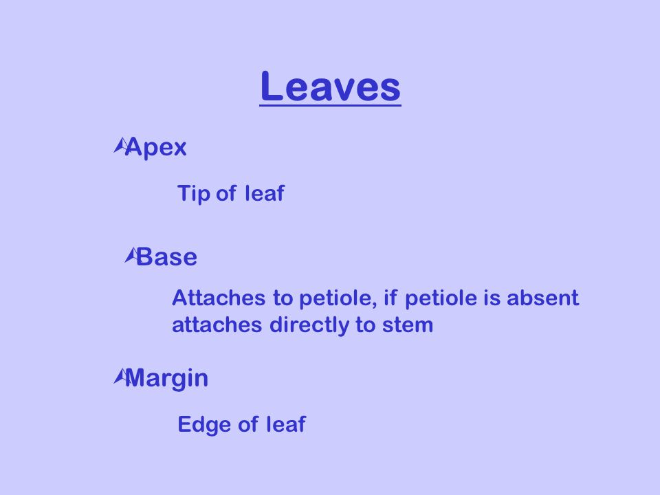 Leaves ÙApex Tip of leaf ÙBase Attaches to petiole, if petiole is absent attaches directly to stem ÙMargin Edge of leaf
