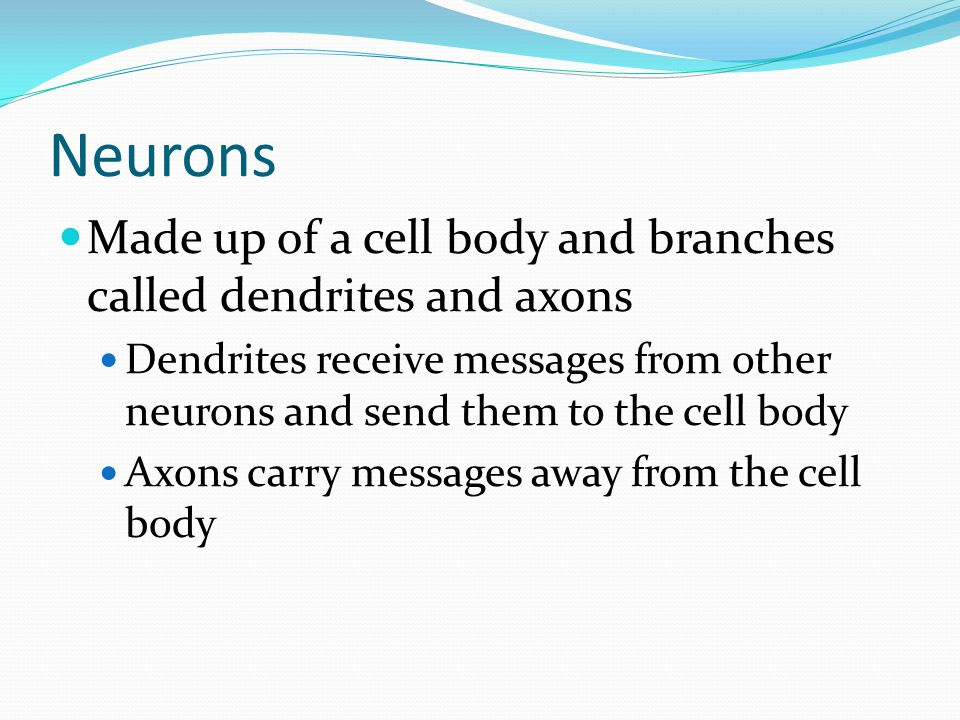 Neurons Made up of a cell body and branches called dendrites and axons Dendrites receive messages from other neurons and send them to the cell body Axons carry messages away from the cell body