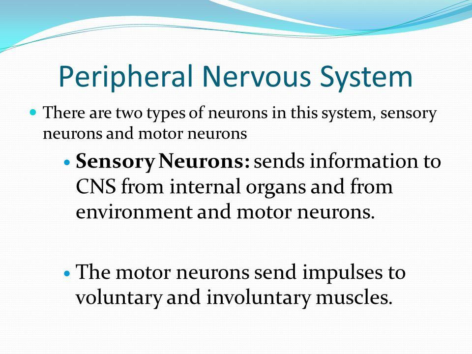 There are two types of neurons in this system, sensory neurons and motor neurons Sensory Neurons: sends information to CNS from internal organs and from environment and motor neurons.