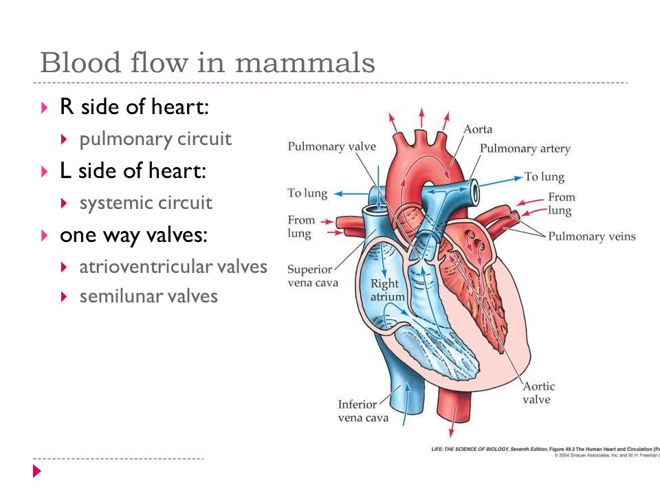 Circulatory system transport systems in animals overview 1 15 blood flow in mammals r side of heart pulmonary circuit l side of heart systemic circuit one way valves atrioventricular valves ccuart Choice Image