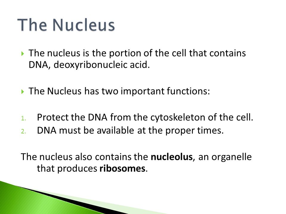  The nucleus is the portion of the cell that contains DNA, deoxyribonucleic acid.
