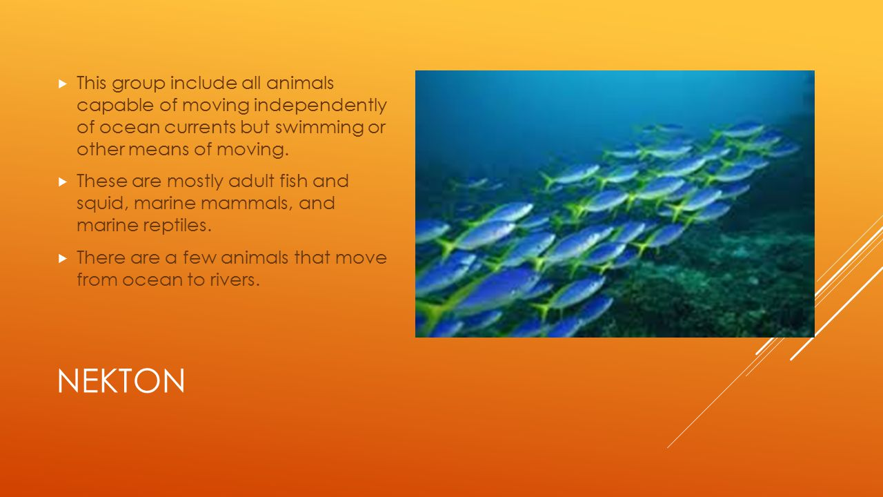NEKTON  This group include all animals capable of moving independently of ocean currents but swimming or other means of moving.  These are mostly ad