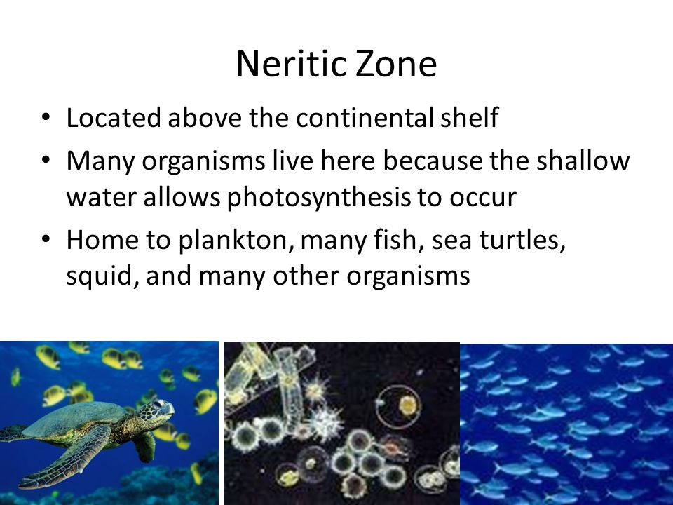 Neritic Zone Located above the continental shelf Many organisms live here because the shallow water allows photosynthesis to occur Home to plankton, m