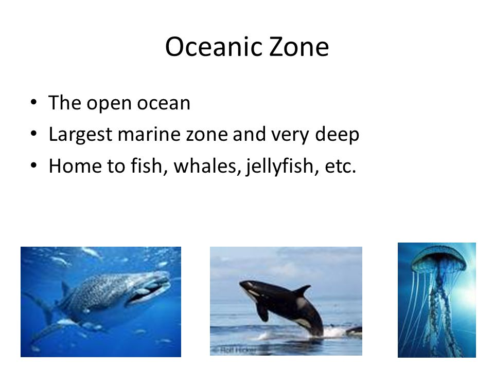 Oceanic Zone The open ocean Largest marine zone and very deep Home to fish, whales, jellyfish, etc.