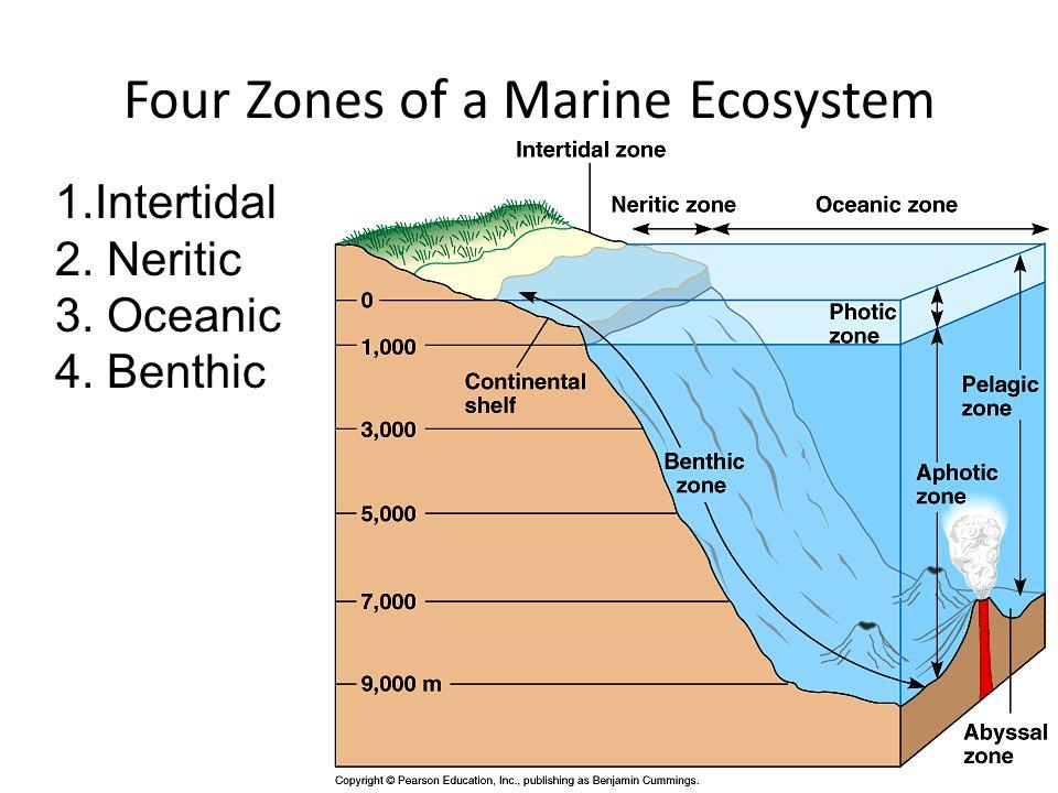 Four Zones of a Marine Ecosystem 1.Intertidal 2. Neritic 3. Oceanic 4. Benthic
