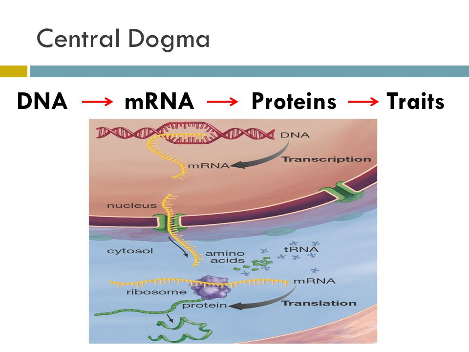 Central Dogma DNA mRNA Proteins Traits