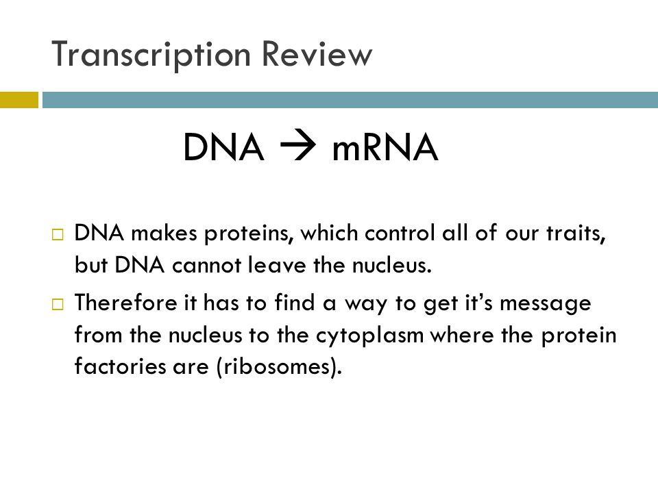 Transcription Review DNA  mRNA  DNA makes proteins, which control all of our traits, but DNA cannot leave the nucleus.