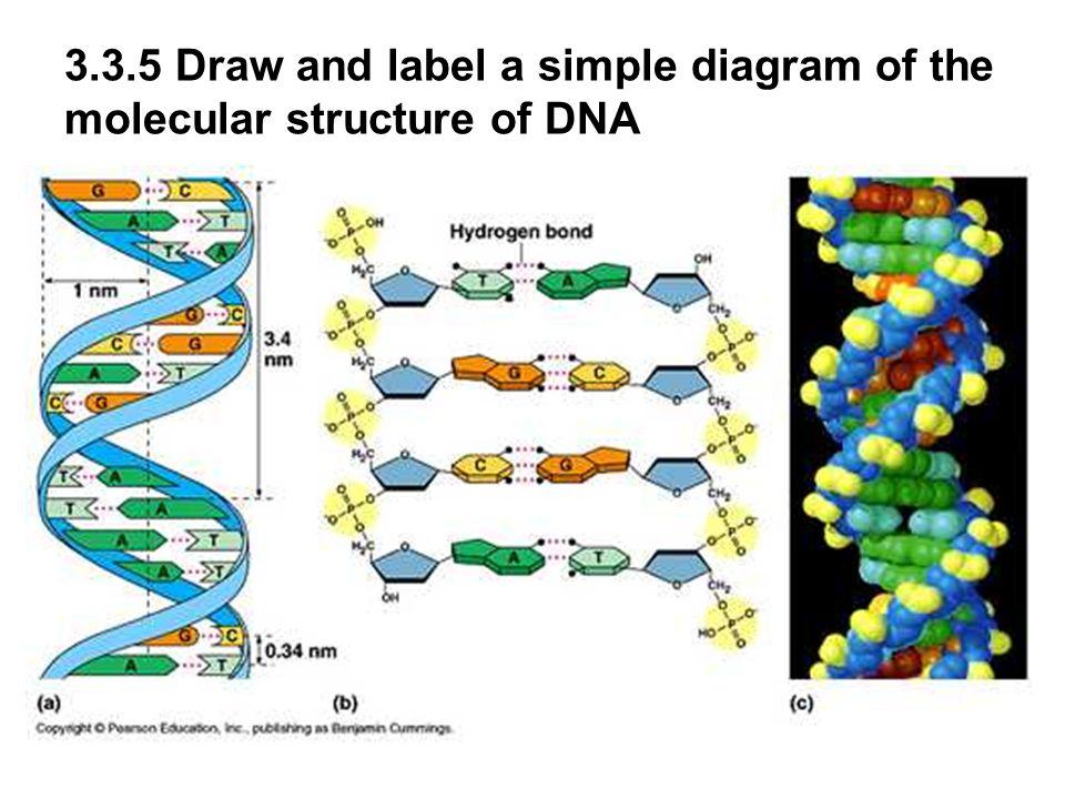 dna diagram  jebas us : dna structure diagram - findchart.co