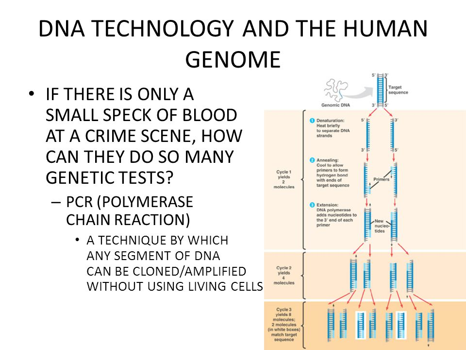 DNA TECHNOLOGY AND THE HUMAN GENOME IF THERE IS ONLY A SMALL SPECK OF BLOOD AT A CRIME SCENE, HOW CAN THEY DO SO MANY GENETIC TESTS.