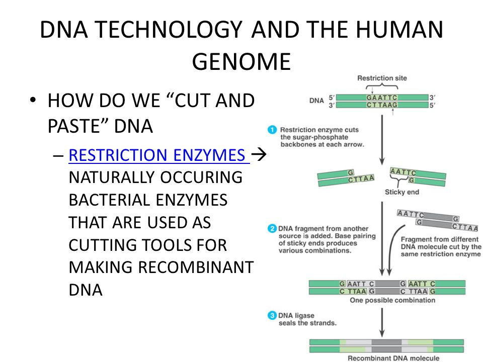 DNA TECHNOLOGY AND THE HUMAN GENOME HOW DO WE CUT AND PASTE DNA – RESTRICTION ENZYMES  NATURALLY OCCURING BACTERIAL ENZYMES THAT ARE USED AS CUTTING TOOLS FOR MAKING RECOMBINANT DNA RESTRICTION ENZYMES