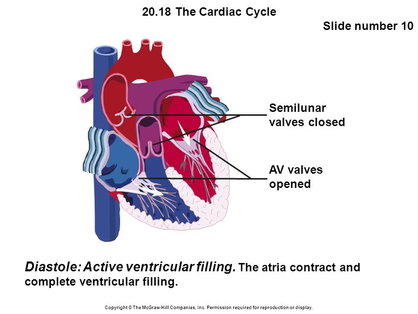 20.18 The Cardiac Cycle Slide number 10 Copyright © The McGraw-Hill Companies, Inc.
