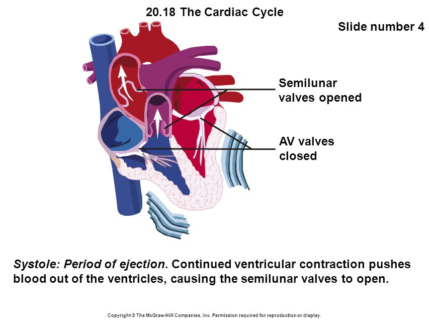20.18 The Cardiac Cycle Slide number 4 Copyright © The McGraw-Hill Companies, Inc.