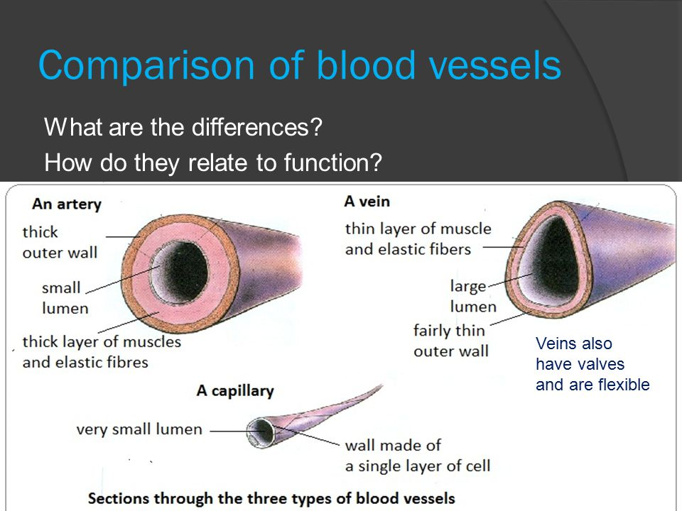 March 24-25, Types of Blood Vessels Blood Vessel Tunics  All ...