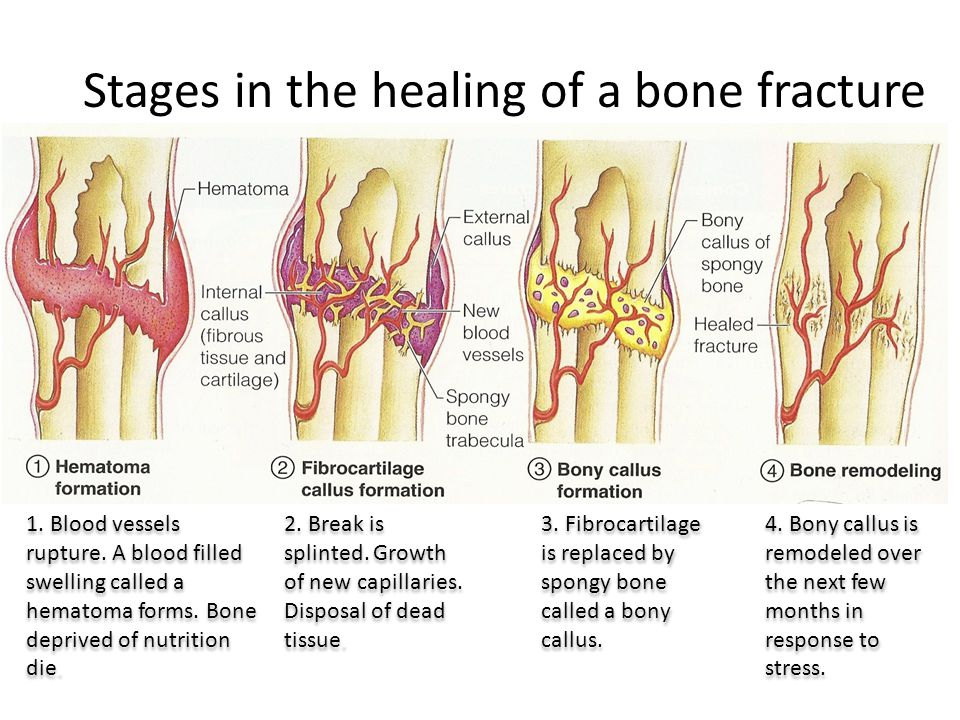 bone formation, growth and remodeling. bone formation the skeleton, Muscles