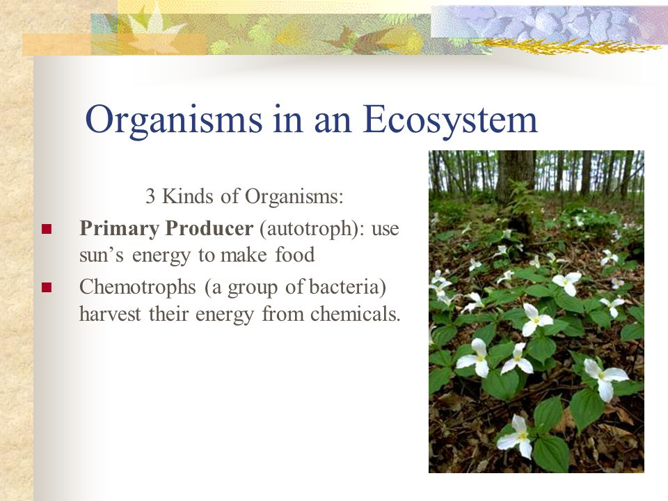 Organisms in an Ecosystem 3 Kinds of Organisms: Primary Producer (autotroph): use sun's energy to make food Chemotrophs (a group of bacteria) harvest their energy from chemicals.