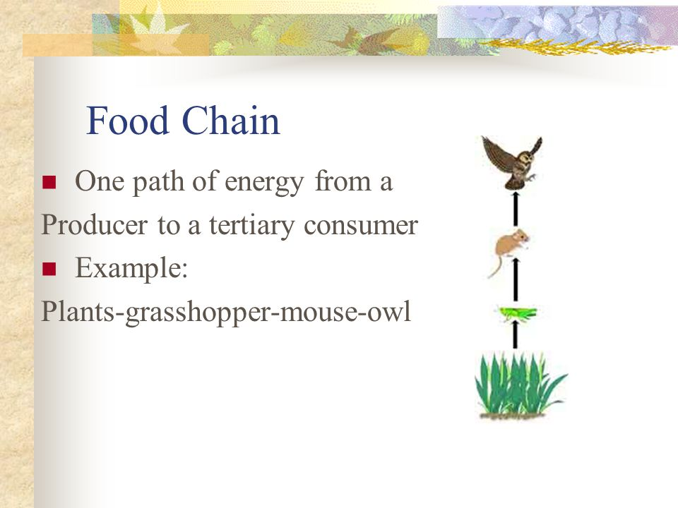 Food Chain One path of energy from a Producer to a tertiary consumer Example: Plants-grasshopper-mouse-owl