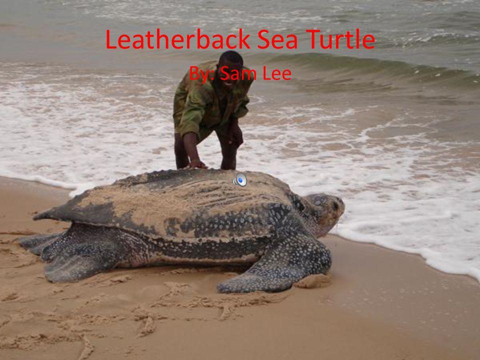 Biggest sea turtle ever found