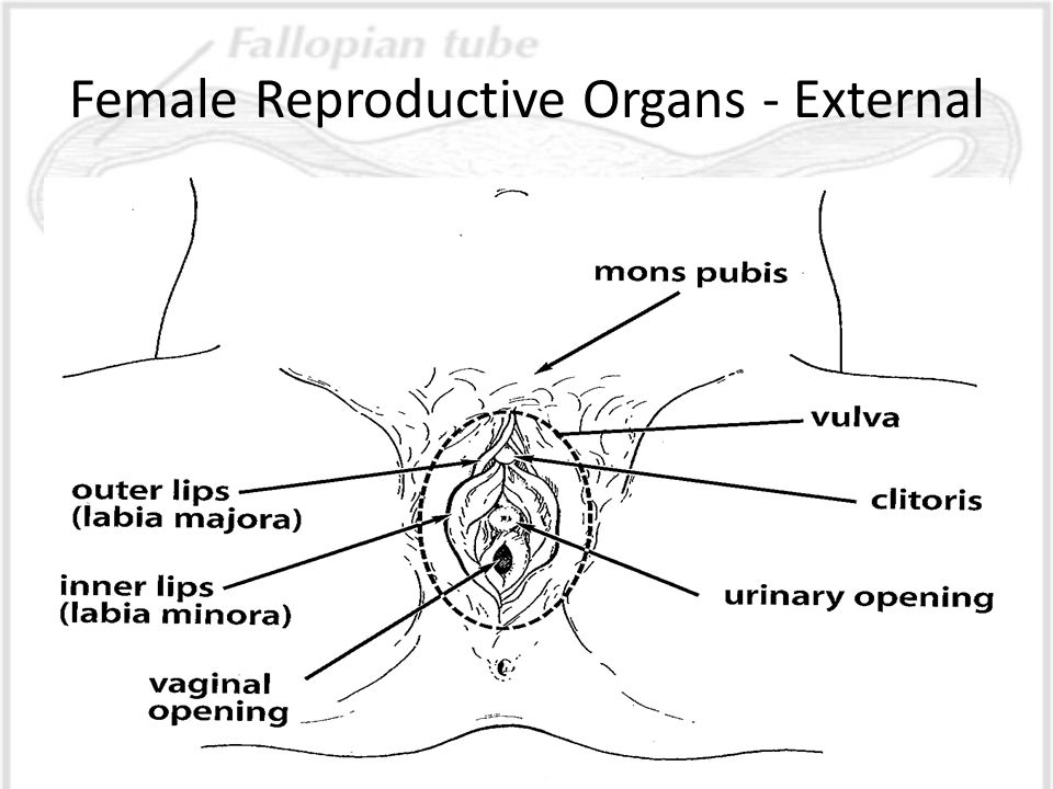 Printables Female Reproductive System Worksheet female reproductive system today youll learn about the organs external