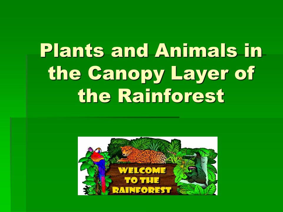 Presentation On Theme Plants And Animals In The Canopy Layer Of Rainforest Transcript 1