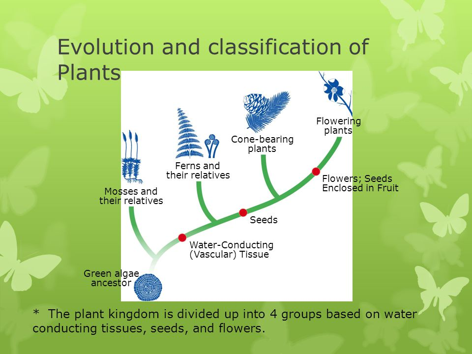 Evolution and classification of Plants Flowering plants Cone-bearing plants Ferns and their relatives Mosses and their relatives Green algae ancestor Flowers; Seeds Enclosed in Fruit Seeds Water-Conducting (Vascular) Tissue * The plant kingdom is divided up into 4 groups based on water conducting tissues, seeds, and flowers.