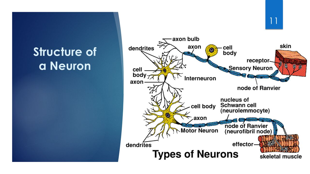 Structure of a Neuron 11