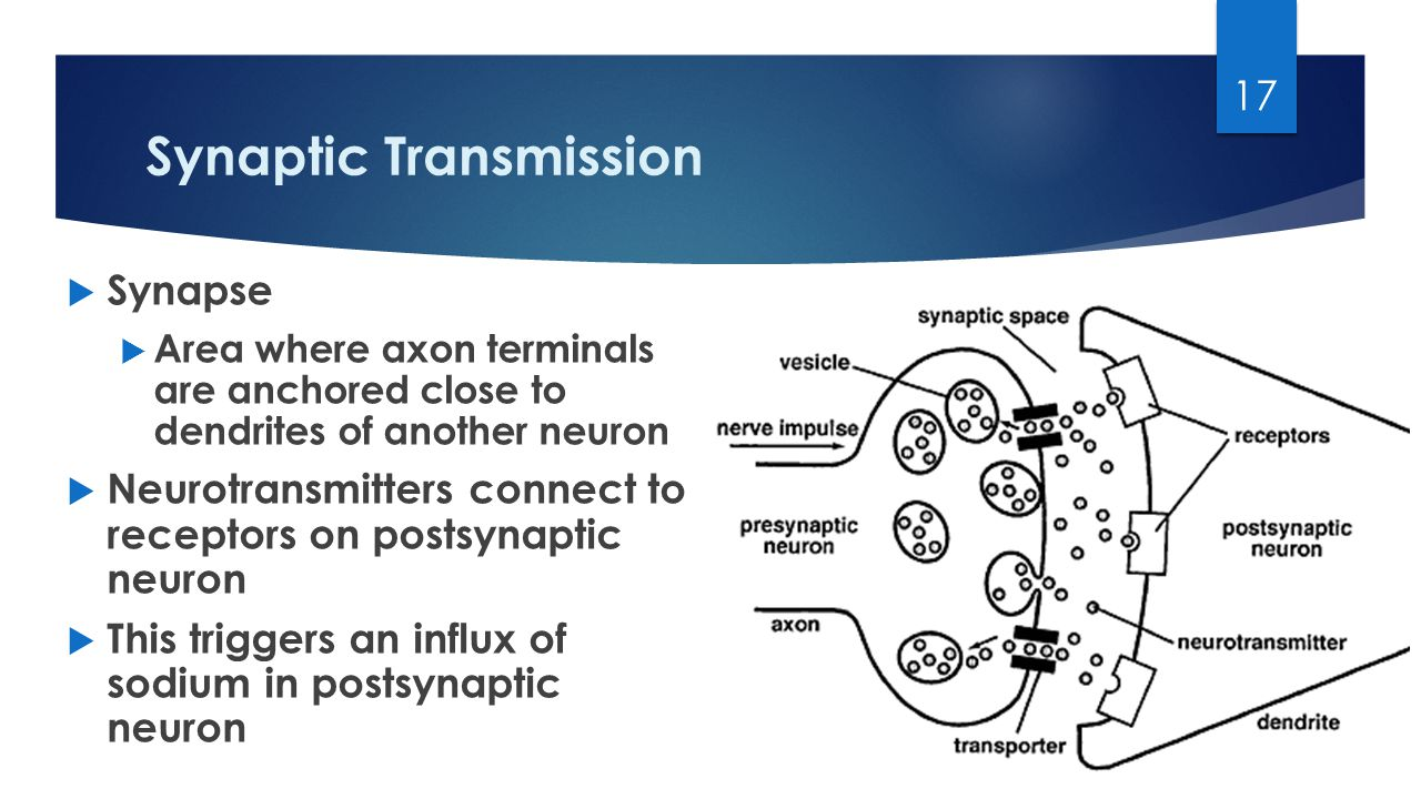 Synaptic Transmission  Synapse  Area where axon terminals are anchored close to dendrites of another neuron  Neurotransmitters connect to receptors on postsynaptic neuron  This triggers an influx of sodium in postsynaptic neuron 17