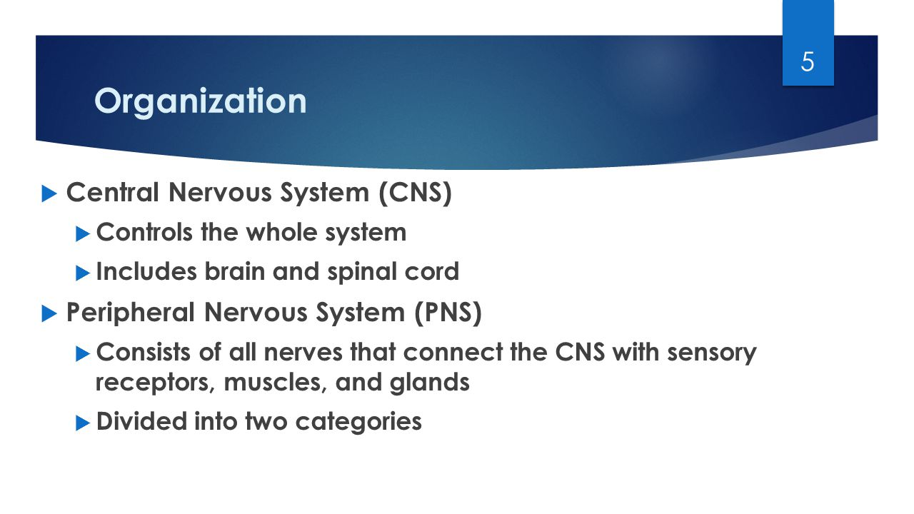Organization  Central Nervous System (CNS)  Controls the whole system  Includes brain and spinal cord  Peripheral Nervous System (PNS)  Consists of all nerves that connect the CNS with sensory receptors, muscles, and glands  Divided into two categories 5