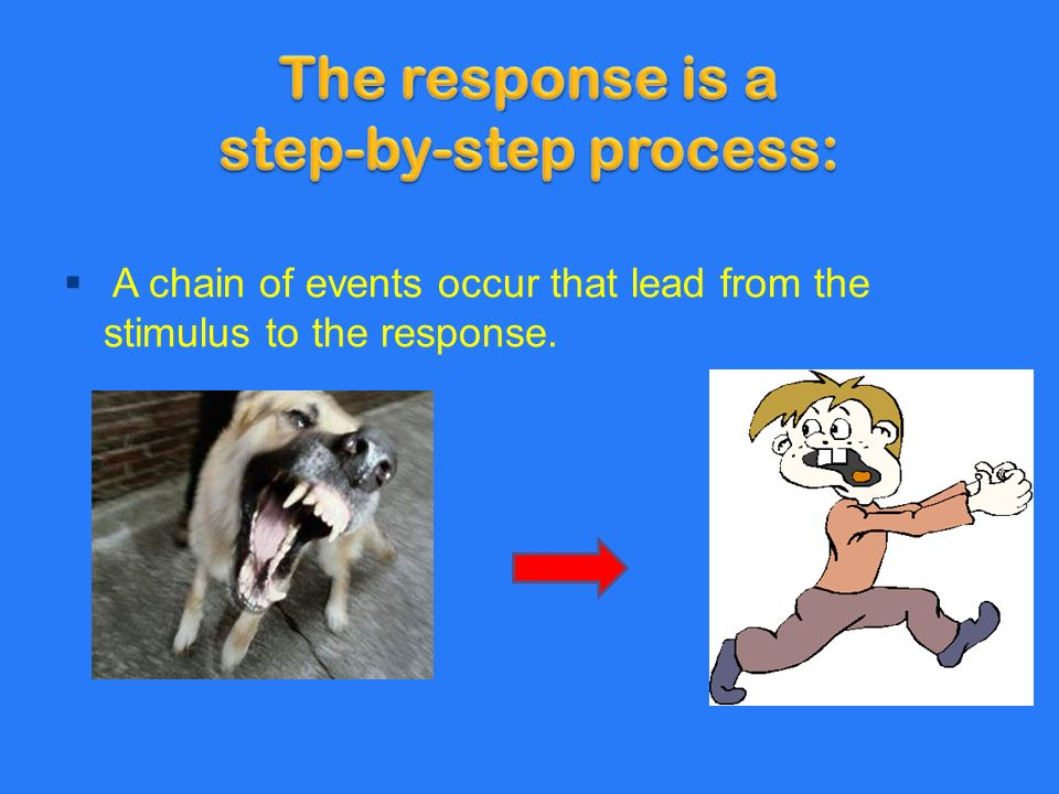  A chain of events occur that lead from the stimulus to the response.