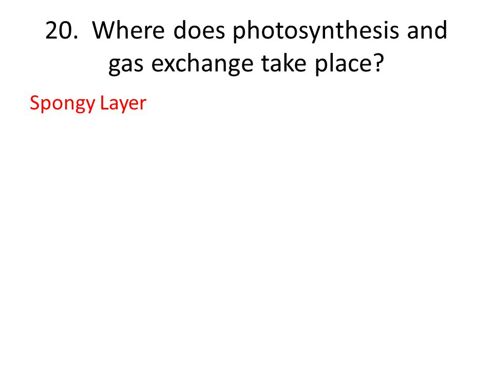 20. Where does photosynthesis and gas exchange take place Spongy Layer