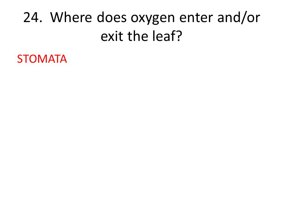 24. Where does oxygen enter and/or exit the leaf STOMATA