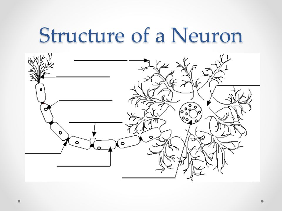 Worksheets Neuron Worksheet stimulus response lab each student should pick from the structure of a neuron