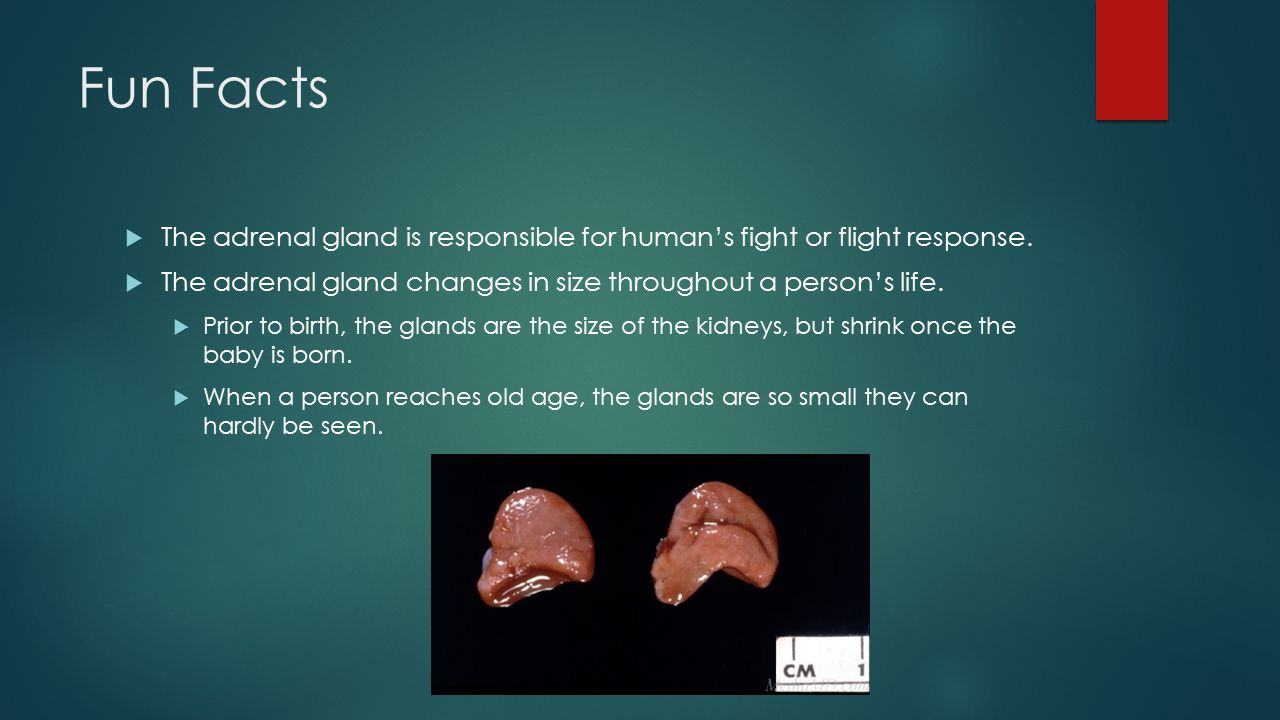 Fun Facts  The adrenal gland is responsible for human's fight or flight response.