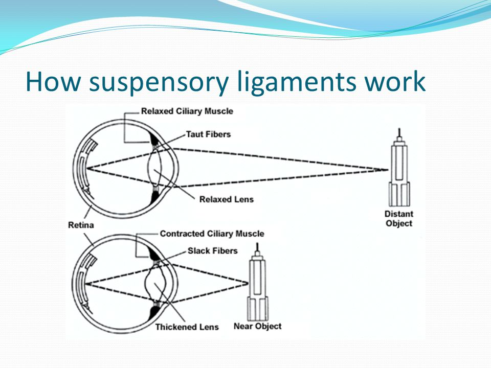 How suspensory ligaments work