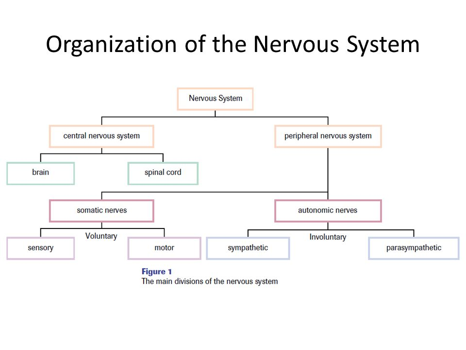 Worksheets The Nervous System Worksheet how nerve signals maintain homeostasis chapter ppt download organization of the nervous system